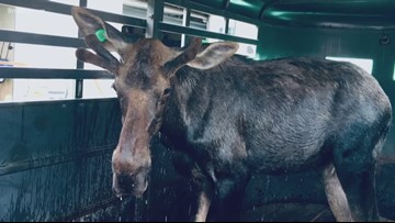 Bull moose relocated after running around Westminster