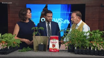 Getting perfect home-grown tomatoes from your Colorado garden