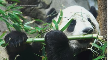 Becky's beasts: Giant pandas recently taken off endangered list