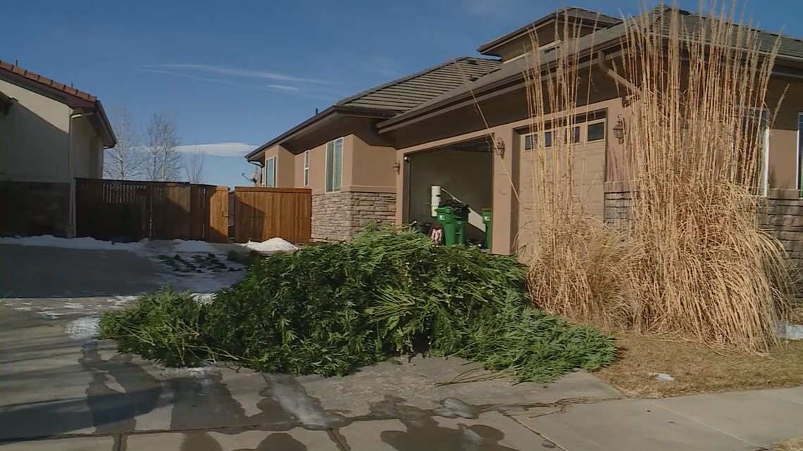 Dozens arrested, $2.1 million seized in 'largest' black-market pot grow investigation in Colorado history