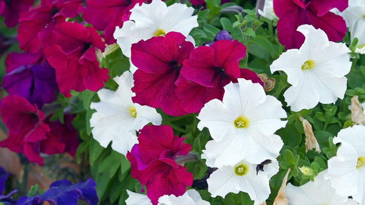 Colorful flowers of petunias blossom in the park, close up view (Petunia hybrida, Solanaceae)
