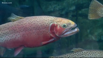 Becky's Beasts: How snowpack impacts freshwater trout