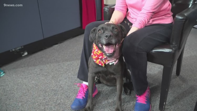 Mariah, a 7-year-old black lab mix, looking for her forever home