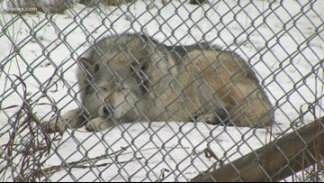 Bill to reintroduce gray wolves to Colorado