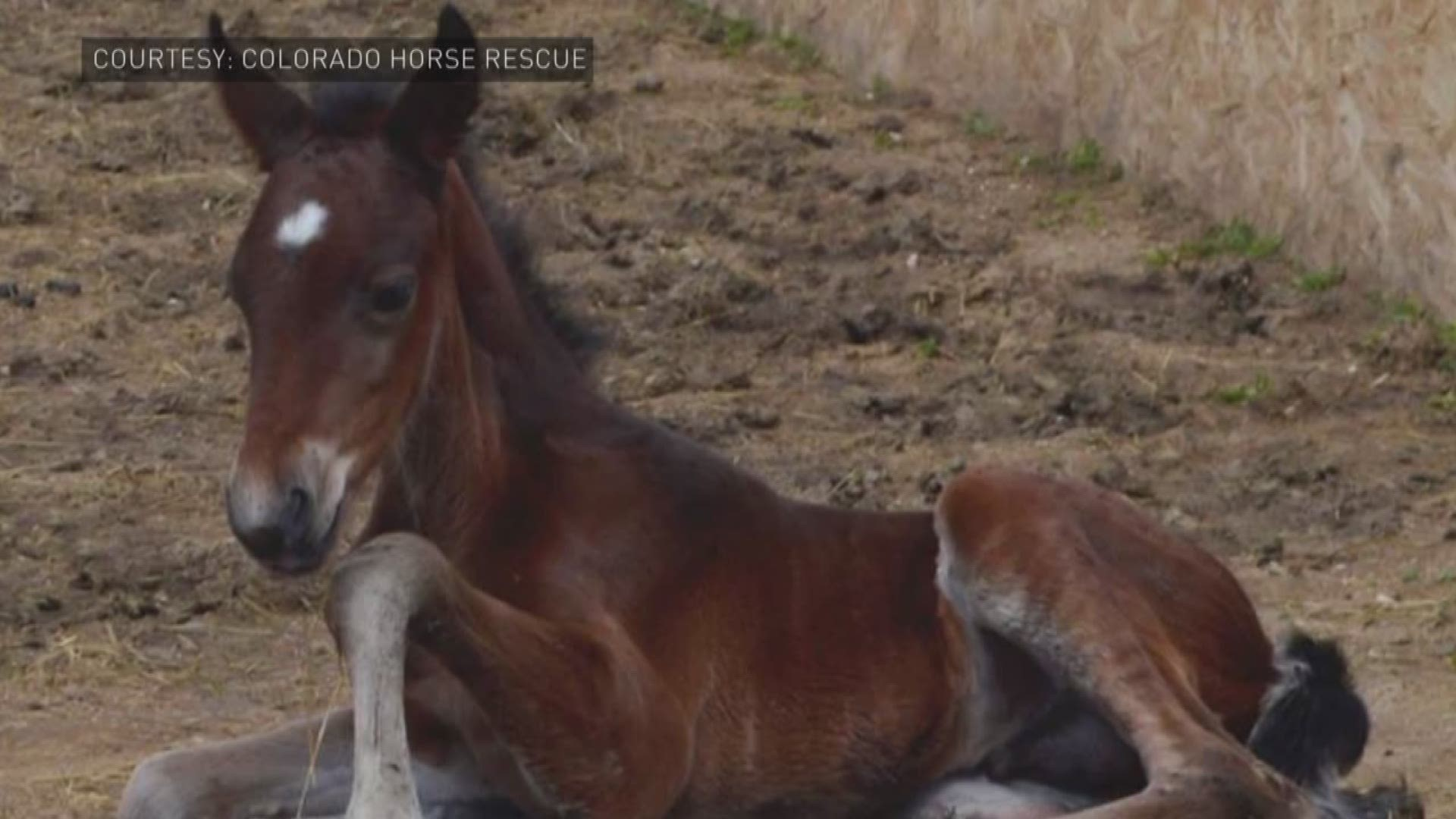 Baby Mustang Born At Colorado Horse Rescue 9news Com