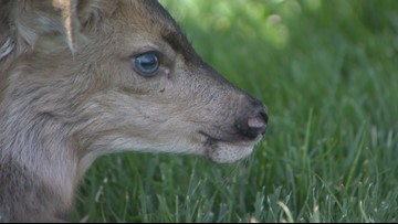 Baby fawn born after its mother was struck, killed by motorcycle