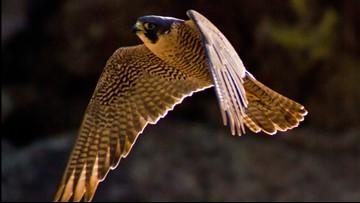Boulder looking for volunteers to help monitor raptor nests