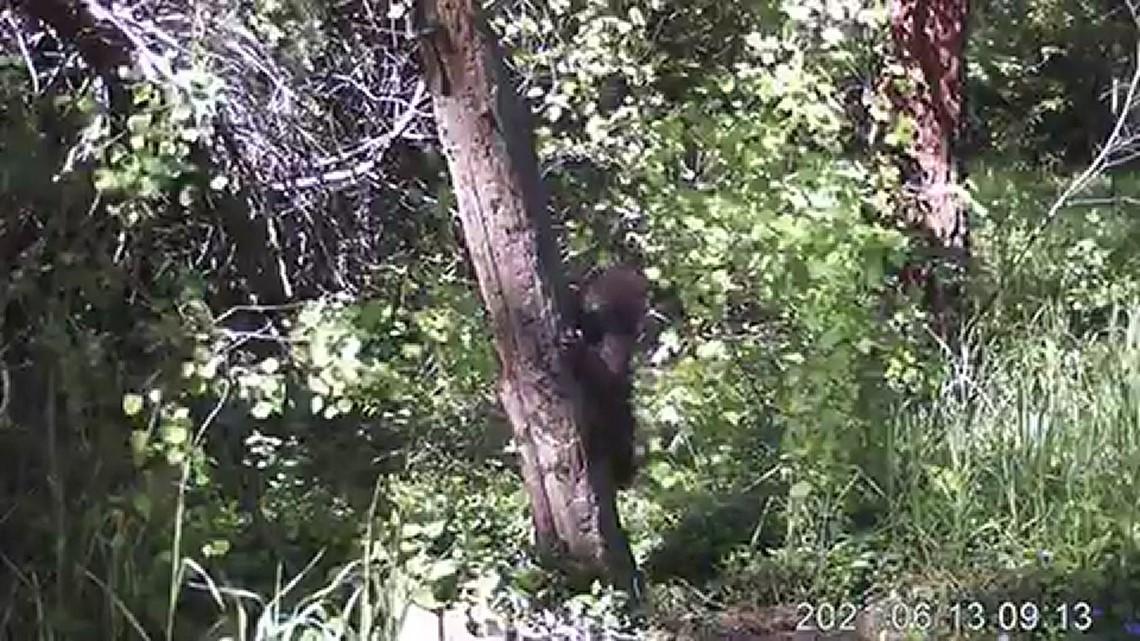 Bear cub practicing marking territory