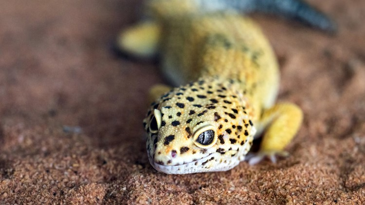 The shape and face of a leopard gecko in a natural atmosphere lizard reptile