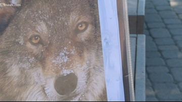 CPW says evidence indicates likely presence of a wolf pack in northwest Colorado