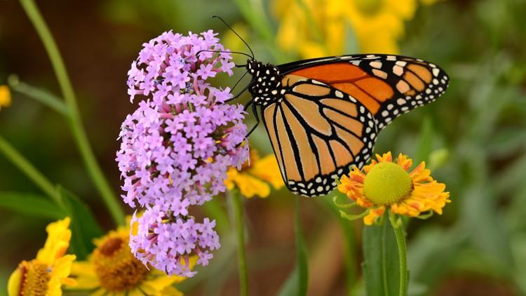 A monarch butterfly feeding on pink flowers in a Summer garden denver botanic gardens