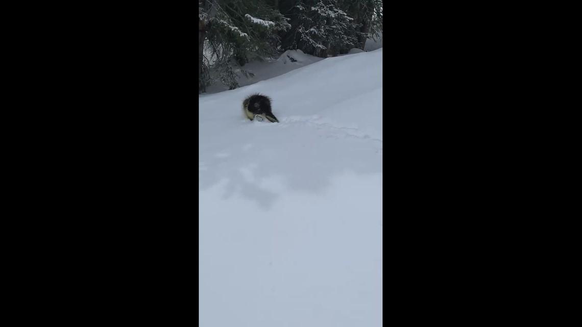 Mr. Porcupine