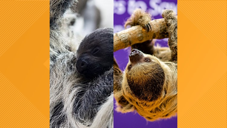Wookiee the sloth celebrates his 2nd birthday at Denver Zoo