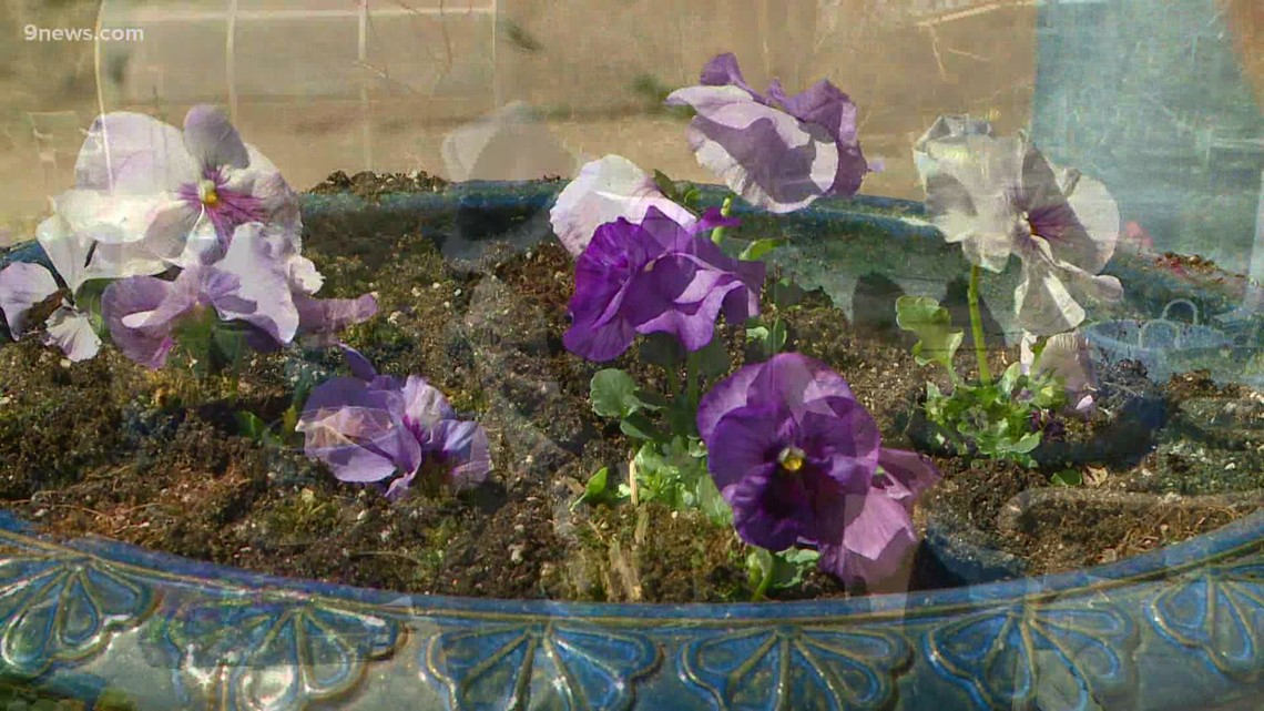 Proctor's Garden: Use pansies to compliment your spring bulbs