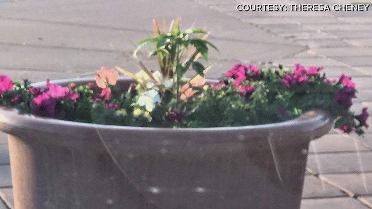 Pot plants found in Powell, Wyo. flower pots.