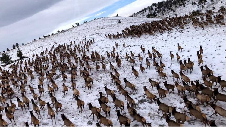 CPW: Elk herds appear unaffected by Cameron Peak Fire