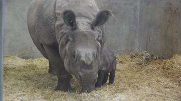 Denver Zoo introduces newborn rhino calf