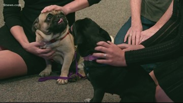 Petline 9: Two energetic pugs looking for a new home