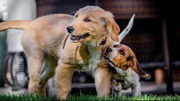 You need to see Tom Green's adorable puppy and his beagle best friend right now