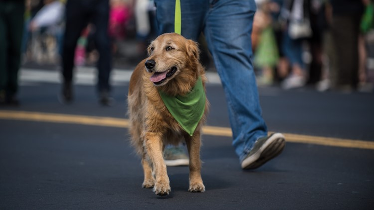 Happy Golden Retriever walking along Saint Patrick Day parade route wearing green bandana around neck.