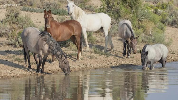BLM begins historic gather of Colorado wild horses
