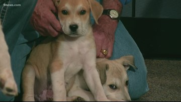 Petline 9: Puppies from Retriever Rescue of Colorado looking for a new home