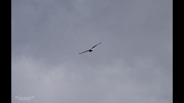 Widowed eagle moves on