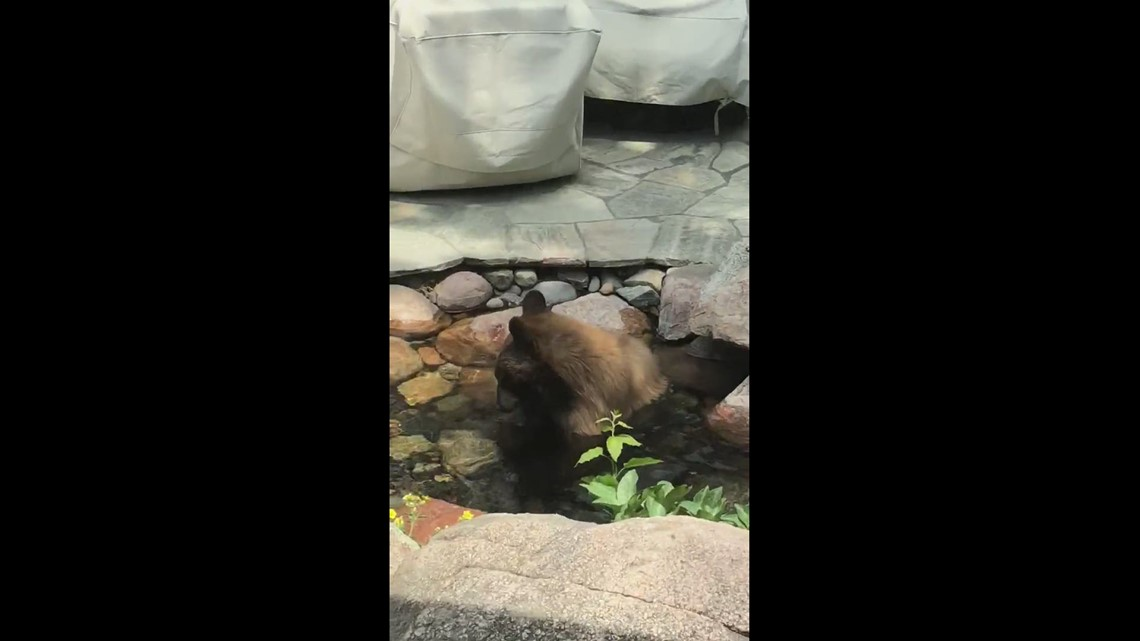 Genesee couple gets 'beary' cool visitor to backyard pond