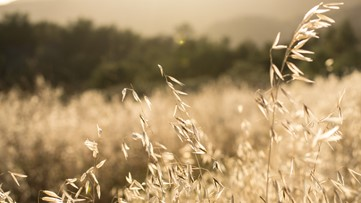 Invasive grasses may be making wildfires worse, study finds