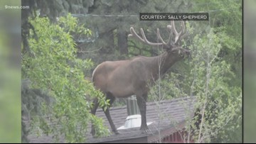 We have a lot of questions about this elk standing on a roof in Estes Park