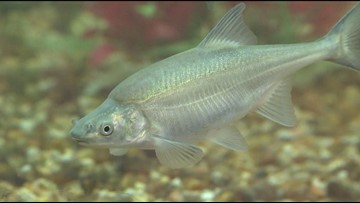 Endangered fish on upswing in Colorado River basin