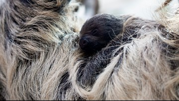 A special guest helped the Denver Zoo announce the name of their new baby sloth