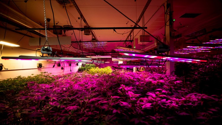 Growing cannabis indoors has a big climate impact, so why doesn't the industry go outside?