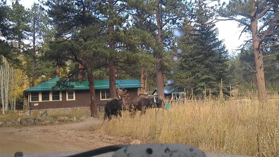 WATCH: Moose duke it out near Allenspark