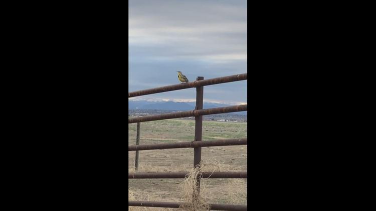 Meadowlark Monday