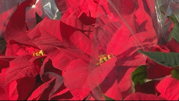 Proctor's Garden: Spreading holiday cheer with poinsettias