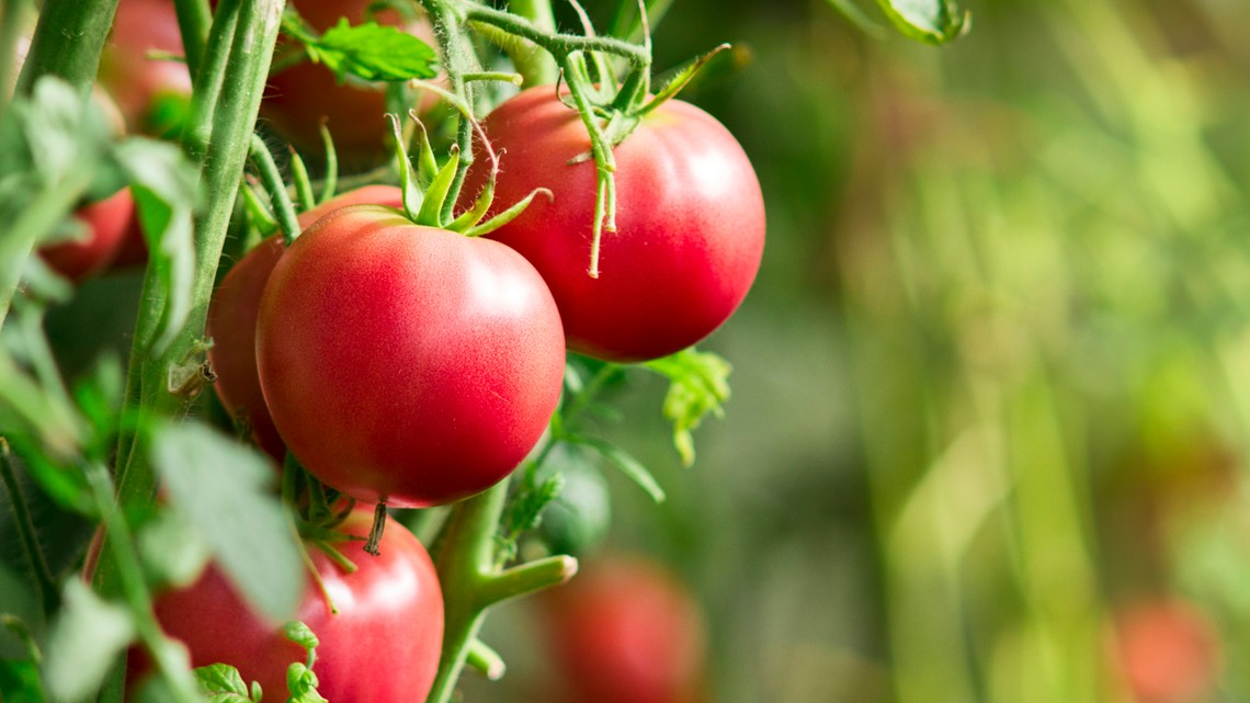 Proctor's Garden: Plant tomatoes properly