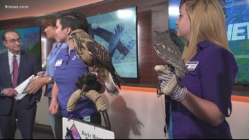 Rocky Mountain Raptor Program gives raptors a second chance at freedom