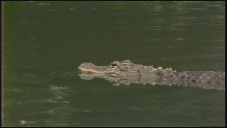 Not too long ago, there was an alligator living in a lake in Denver's City Park