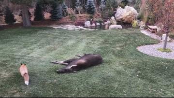 Frisco man spots fox, moose in his backyard