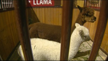 Meet the baby animals at the National Western Stock Show