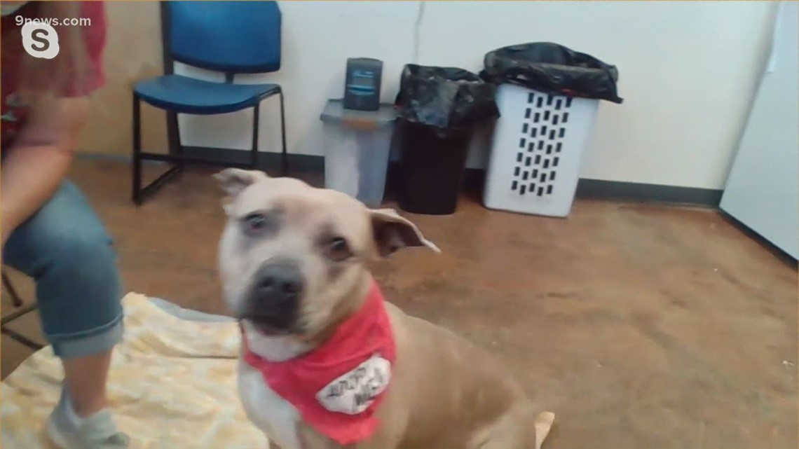 Petline9: Cute 3-year-old staffordshire-terrier mix