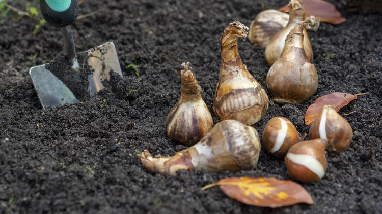 Which bulbs you should plant in your garden this fall