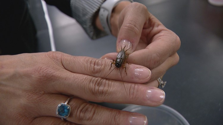 Crickets living in a DU lab listen to traffic noise all day