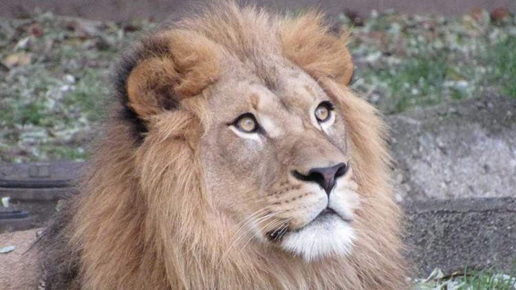 Tobias the Lion