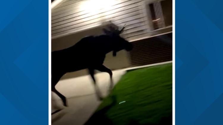WATCH: Bull moose closes Arvada park, goes through surrounding neighborhoods