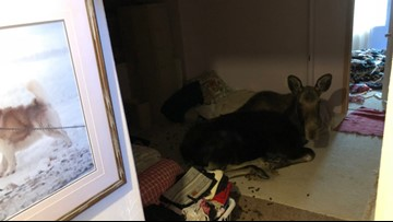 WATCH: Homeowners find unexpected visitor in basement - a moose