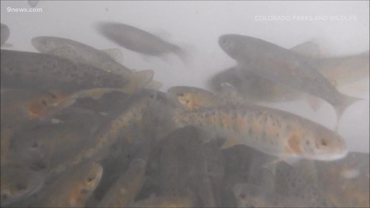 Rare trout released into the wild years after being saved from Colorado wildfire