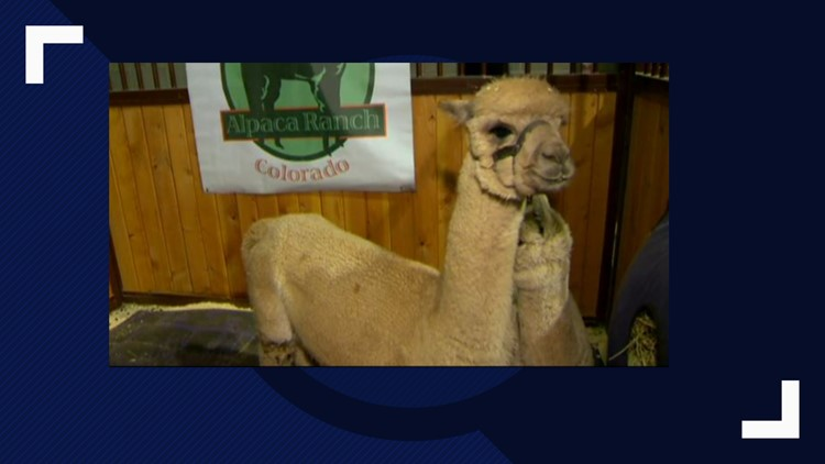 Baby animals galore at National Western Stock Show