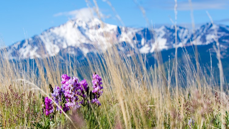 Pikes Peak shown behind wildflowers on Bald Mountain in the Pike National Forest on a beautiful summer morning.